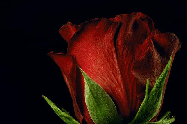 Foto macro di una rosa