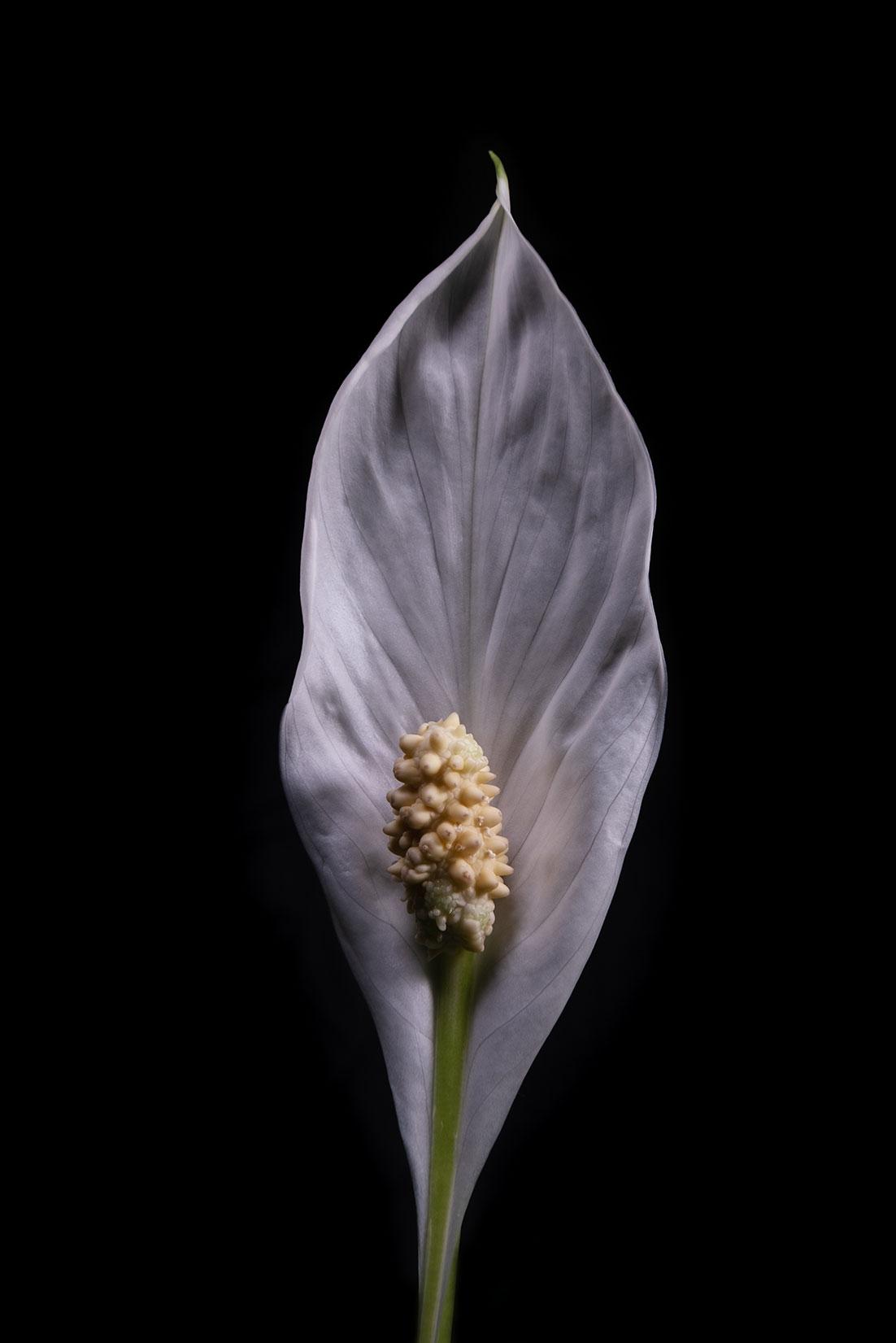 Spathiphyllum by Tiziano L. U. Caviglia